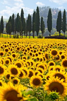 About Me. Library Image: Sunflower Field